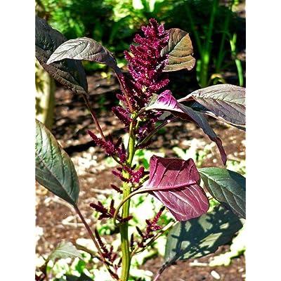 Amaranthus cruentus RED Amaranth Seeds! : Garden & Outdoor