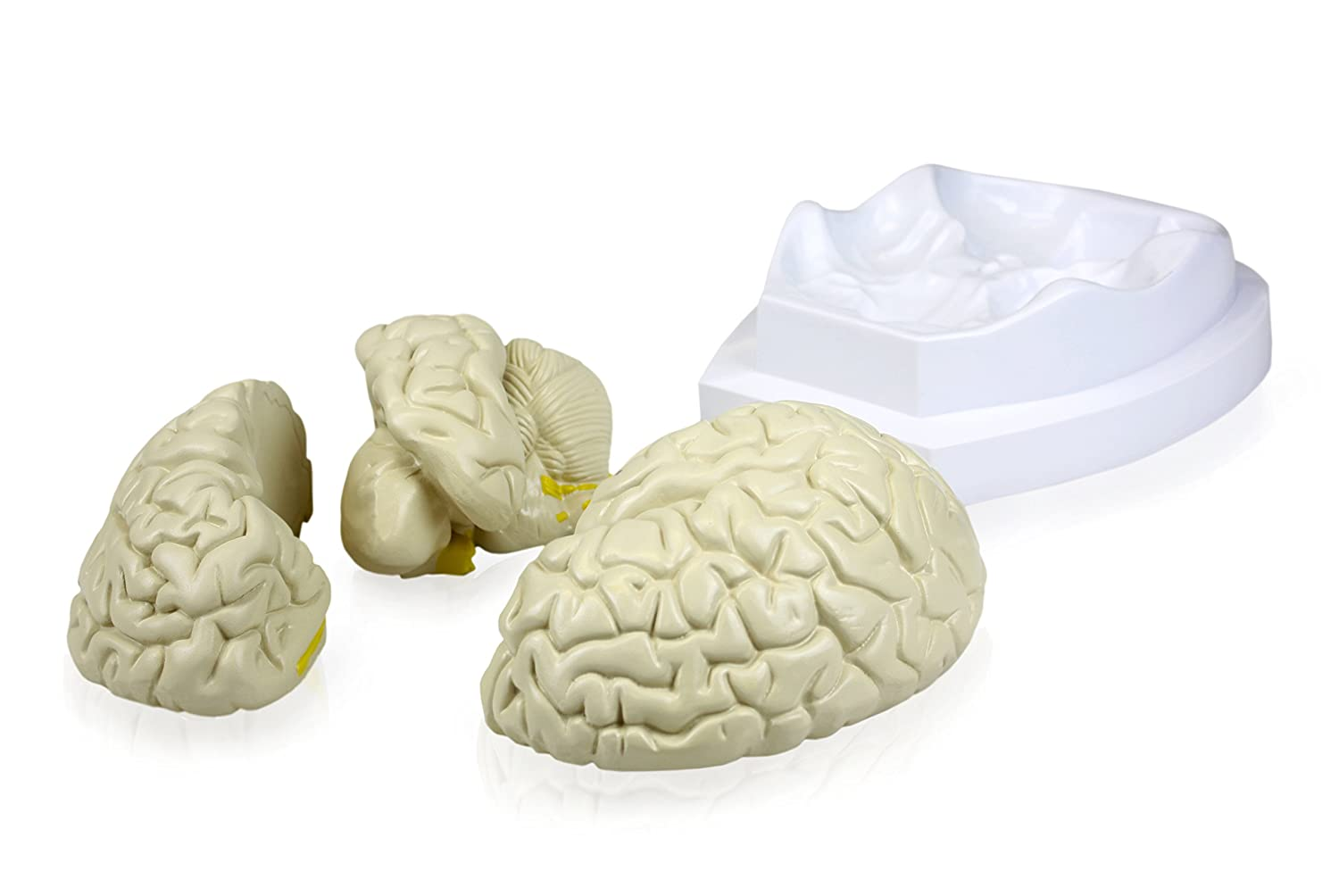 6 x 5 x 7.5 Inches Life Size Walter Products B10401-3 Human Brain Model 3 Parts