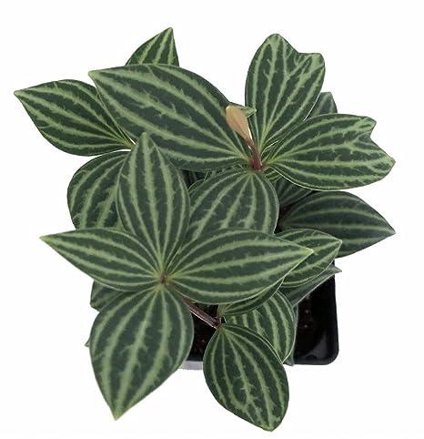 """Parallel Peperomia puteolata - 4"""" Pot - Easy to Grow House Plant:  Amazon.in: Garden & Outdoors"""