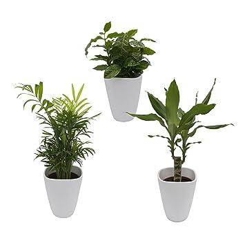 20-40 cm hoch jeweils mit wei/ßem Dekotopf 12 cm Topf Zimmerpflanzen-Set aus 1 Drachenbaum 1 Kaffee-Pflanze und 1 Zimmerpalme