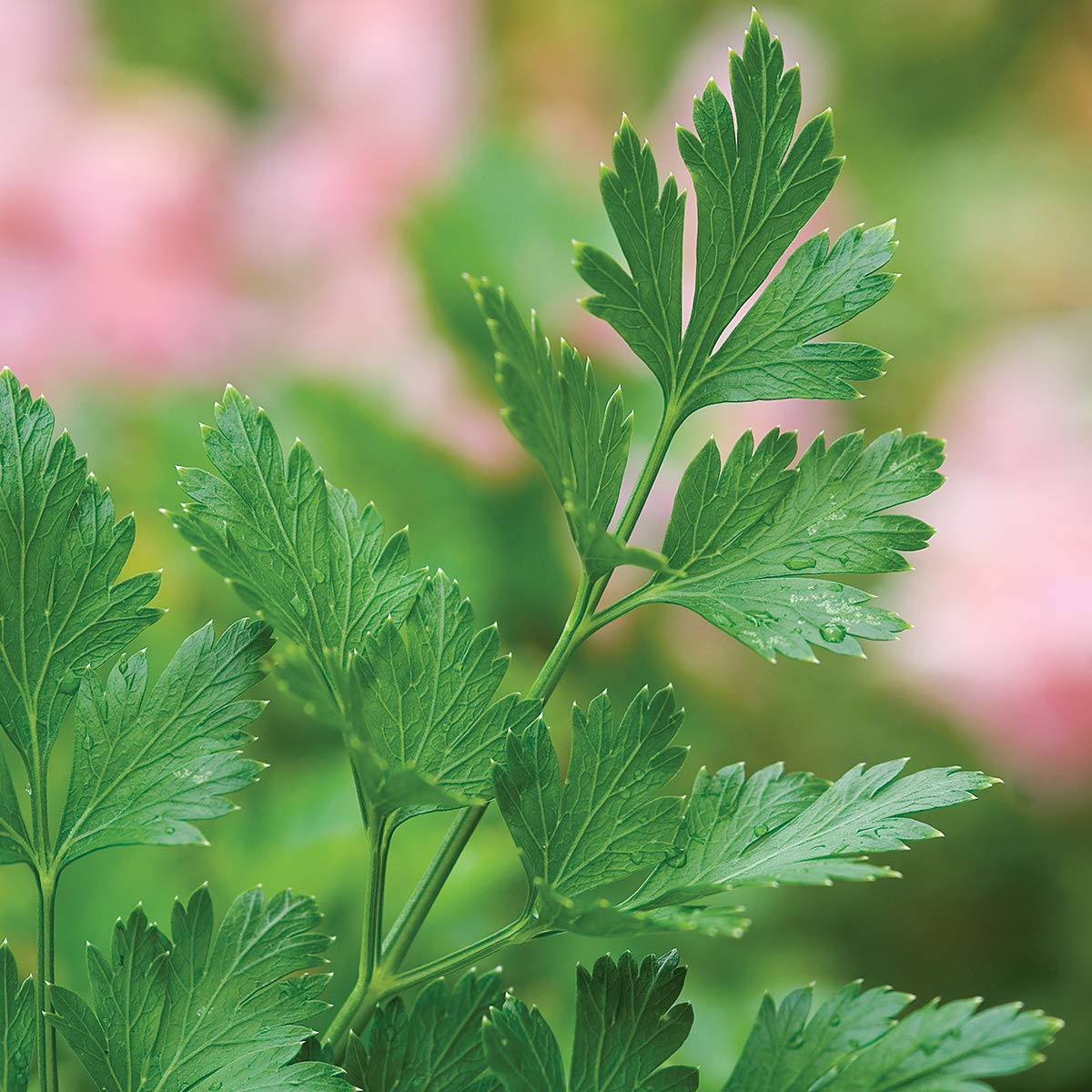 Burpee Single Italian Parsley, 3 Live Plants   2 1/2'' Pot