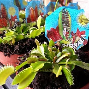 Venus Atrapamoscas - Dionaea - Maceta 9cm. - Planta viva - (Envíos sólo a Península): Amazon.es: Jardín