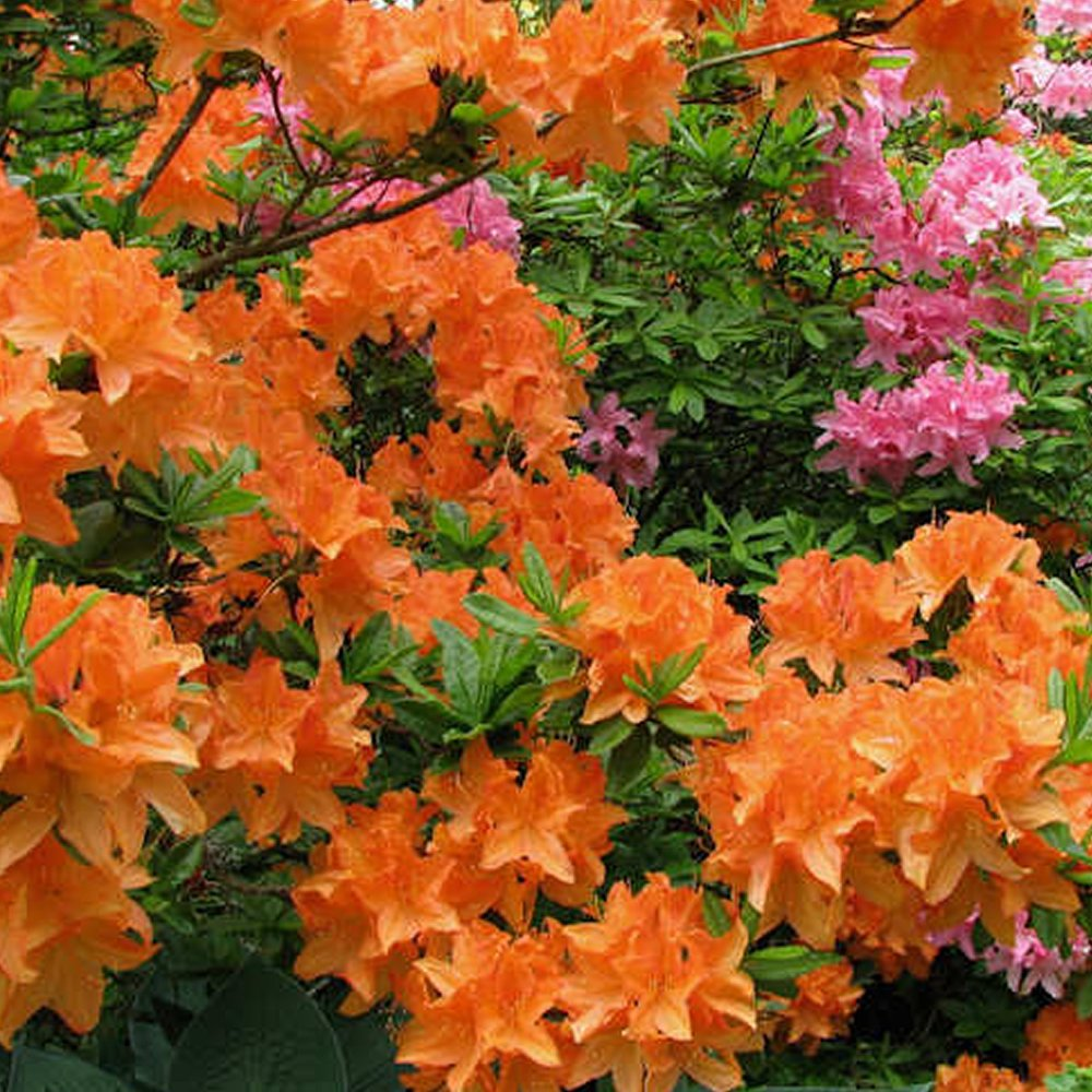 3 X ORANGE AZALEA JAPANESE EVERGREEN SHRUB HARDY GARDEN PLANT IN POT Gardener's Dream