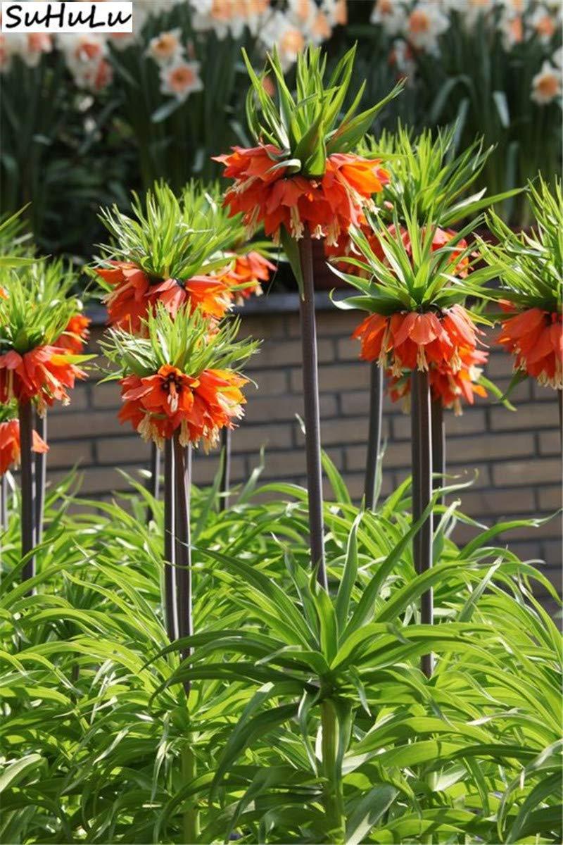Bonsai 200 PC//Rot Schlussverkauf Kaiserkrone Fritillaria Imperialis Lutea Easy Pack Pflanze wachsen Home Garten Bodendecker Gelb Bloom Green Co