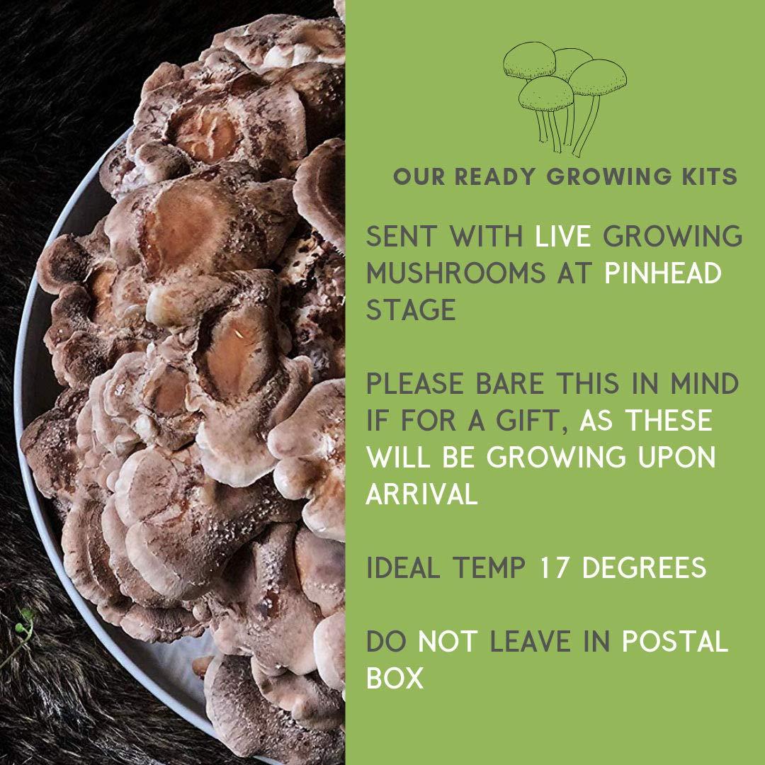 Merryhill Mushrooms - Ready Growing Shiitake Mushroom Growing Kit