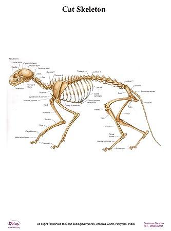 Dbios Laminiertes Poster Katzen-Skelett Digitaldruck Educational ...