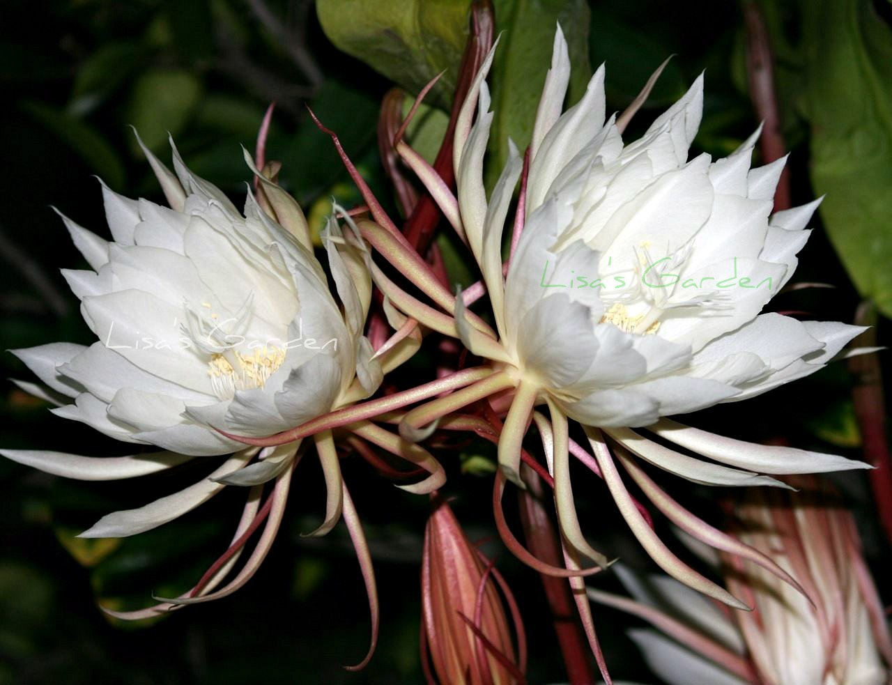 Amazon Orchid Cactus Epiphyllum Oxypetalum White One Pc