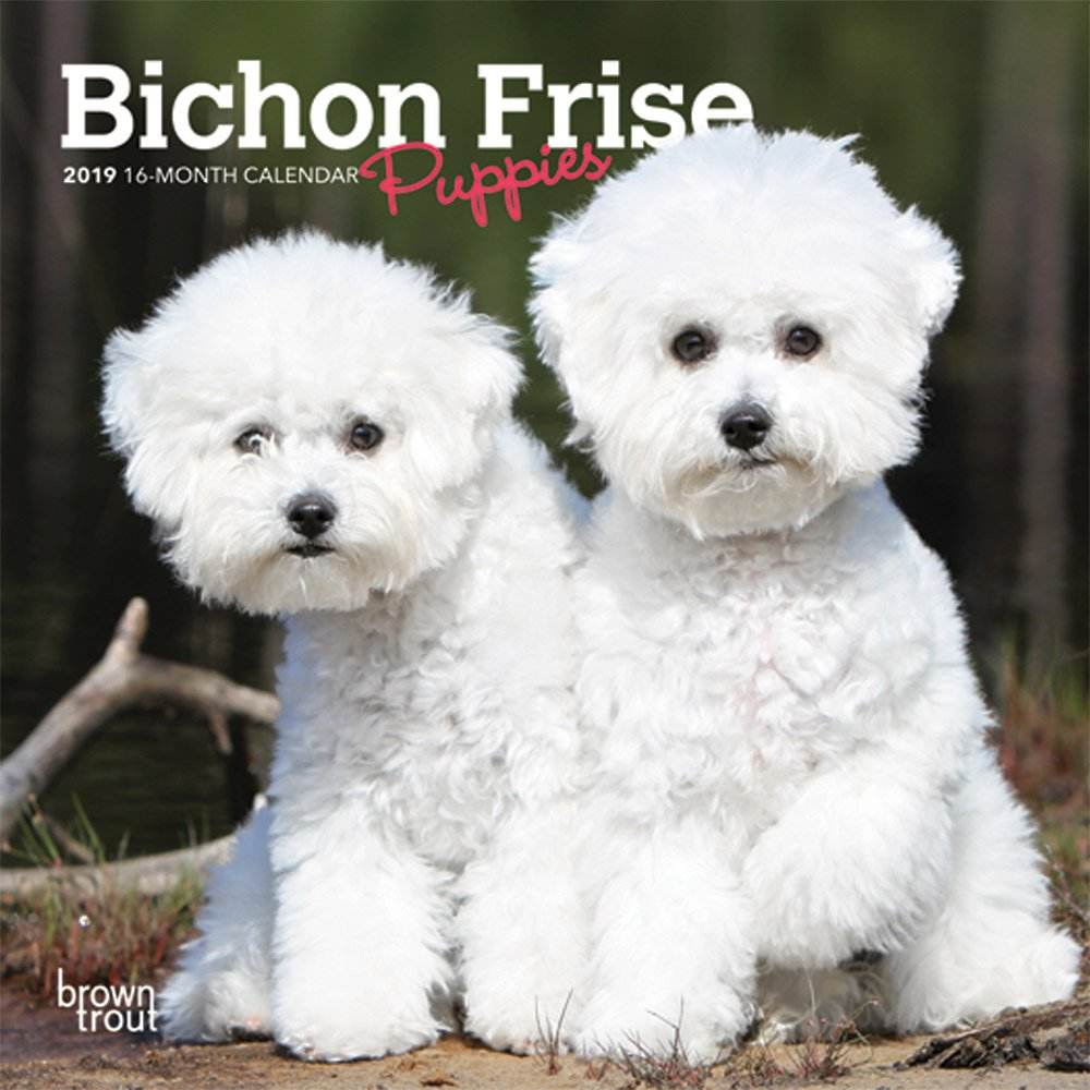 Buy Bichon Frise Puppies 2019 Mini Wall Calendar Book Online