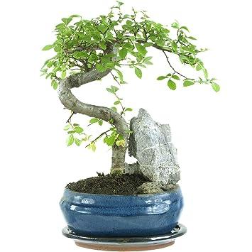 Chinesische Ulme, Bonsai, 8 Jahre, 28cm: Amazon.de: Garten