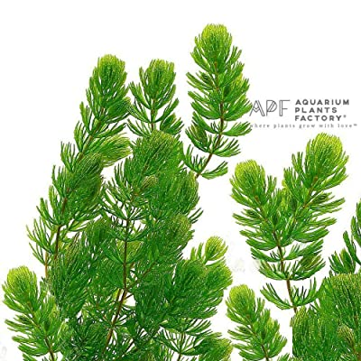 Hornwort Loose Fresh Cut Portion Ceratophyllum Live Aquarium Plant : Garden & Outdoor...