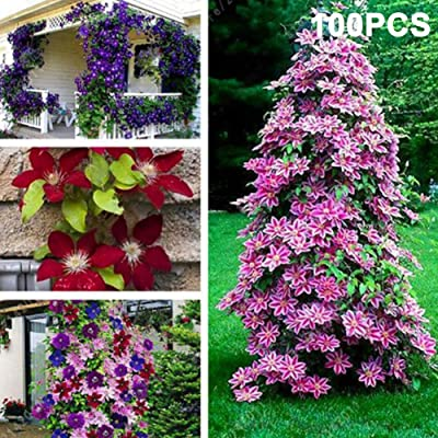 junshi11 100Pcs Mixed Colors Clematis Bonsai Flower Seeds Home Outdoor Balcony, Easily Grow, Annual Temperate Planting, Decoration Garden Gifts Clematis Seeds : Garden & Outdoor
