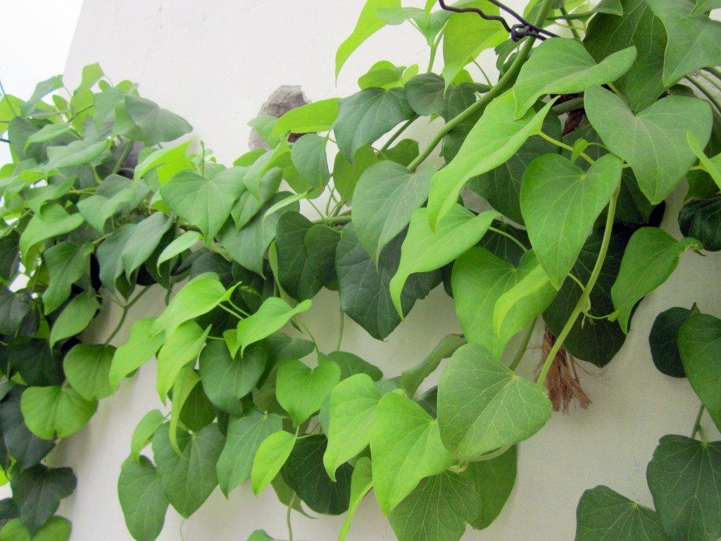 Seeds village Ayurvedic Nectar herb Amrita Tinospora cordifolia-Gudchi Giloy Heart leaved Moonseed Herbal Creeper Vine cuttings,Balance vada Pitta,kaffa 4cutting for Growing 15cm Long.