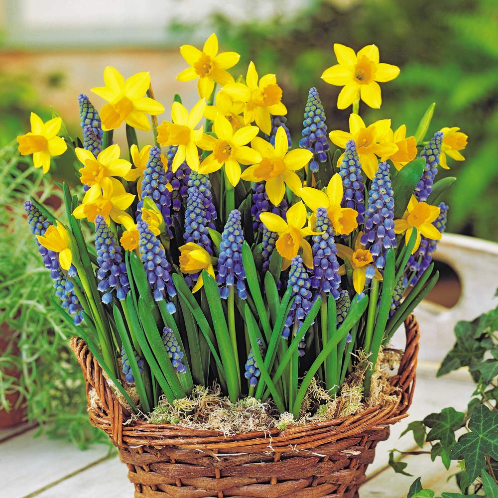 Mini Daffodil Muscari Hardy Spring Bulbs Collection with Classic Yellow and Blue Flowers, Easy to Grow, Spring Bulb Mix 50 x Bulbs Thompson & Morgan