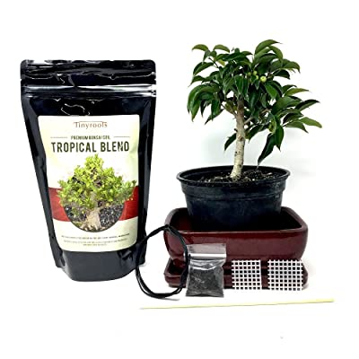 "Bonsai Outlet Oriental Ficus with 7"" Pot & Tray (706-S): Home & Kitchen"