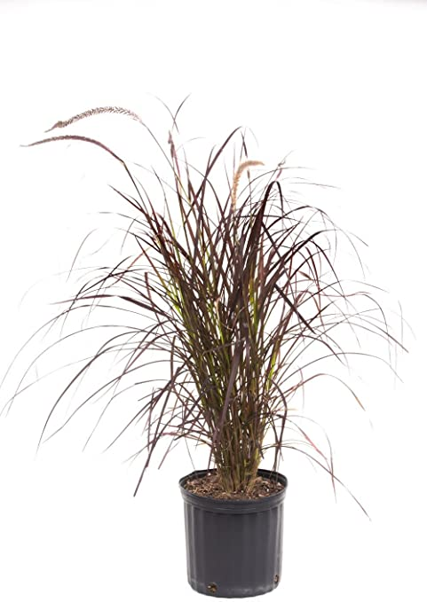 Amazon Com American Plant Exchange Purple Fountain Grass Live