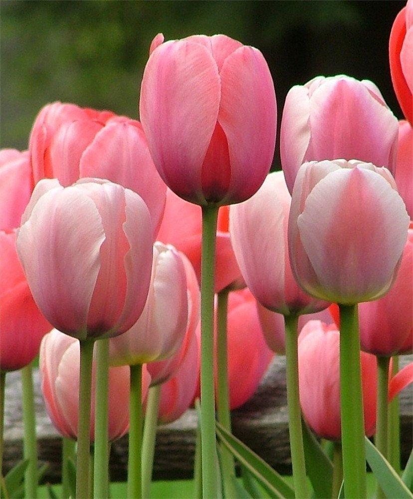 SILKSART Pink 20 Tulip Bulbs Perennial Bulbs for Garden Planting Beauty Flower--SHIPPING NOW!!! by SILKSART
