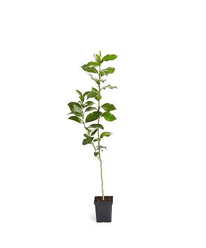 Amazon.com: Árbol de limas clave - Árboles de frutas enanas ...