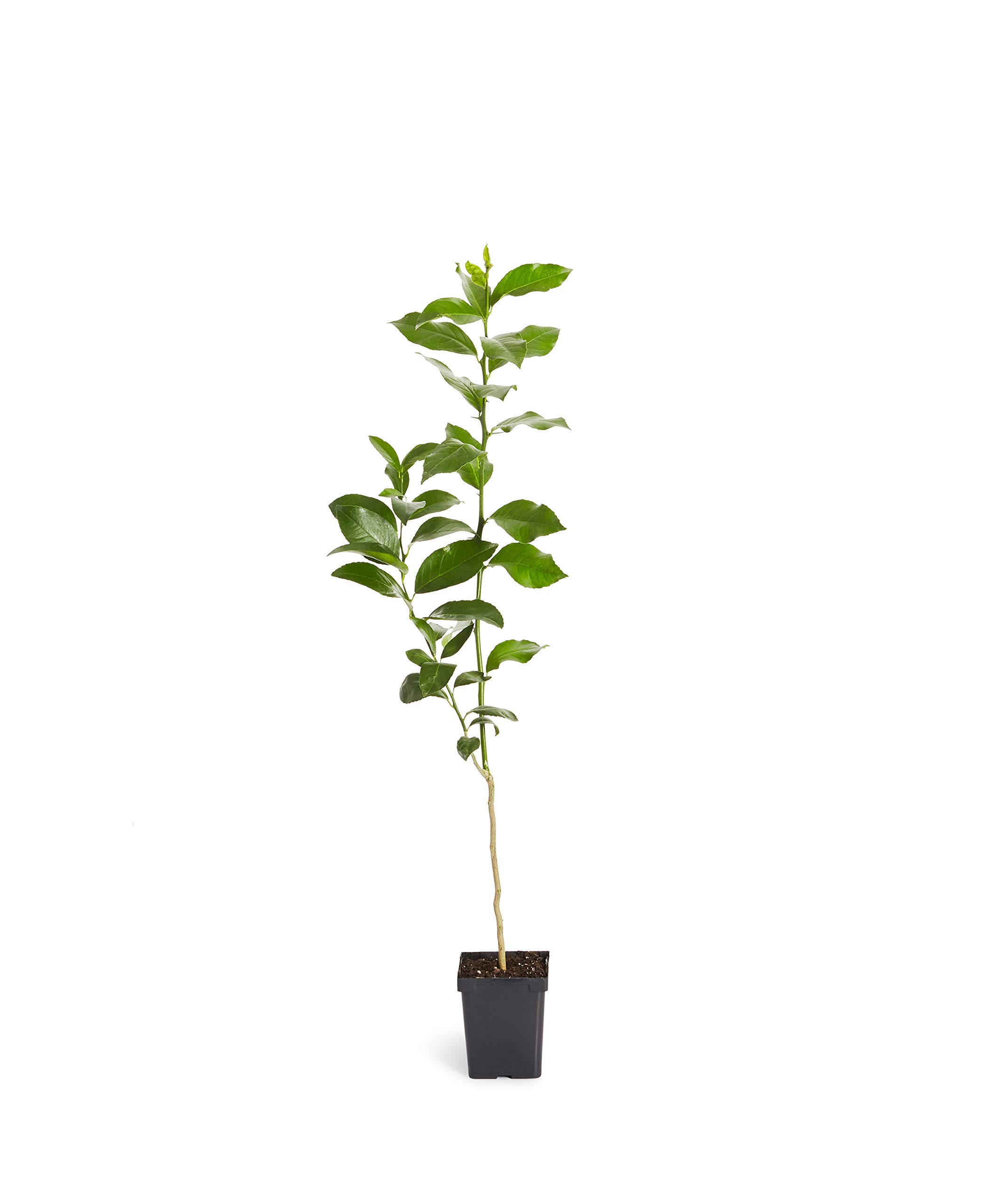Key Lime Tree - Dwarf Fruit Trees - Indoor/Outdoor Live Potted Citrus Tree - 1-2 ft. Tall Trees - Cannot Ship to FL, CA, TX, LA or AZ by Brighter Blooms (Image #1)