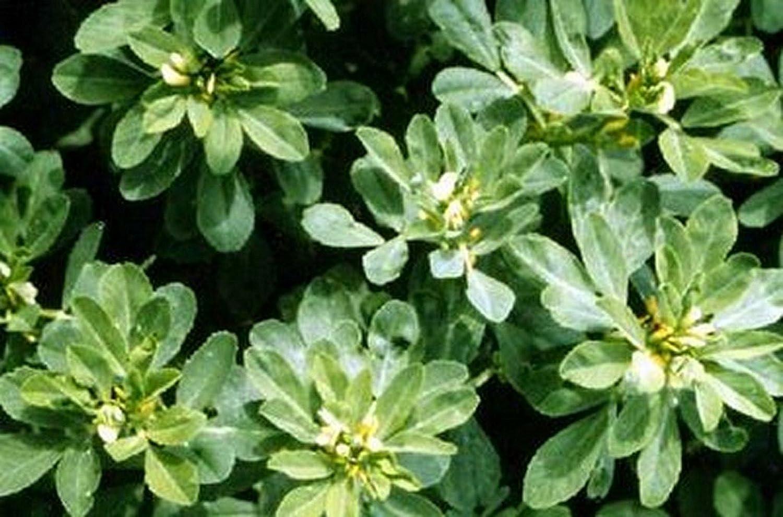 100 Seeds Herb Fenugreek