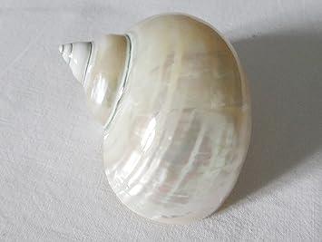 Turbo Burgos Pearl aprox. 7 cm Pulido Turbo marmoratus grandes nácar Caracol: Amazon.es: Jardín