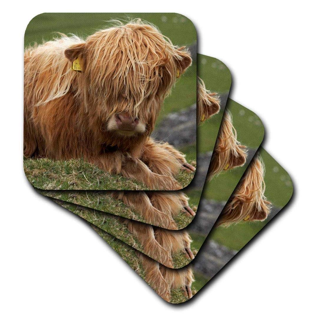 3dRose CST_82774_3 Highland Cow, Farm Animal, North Yorkshire, England-Eu33 Dwa0158-David Wall-Ceramic Tile Coasters, Set of 4
