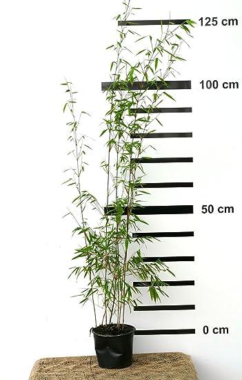 Roter Bambus Fargesia Jiuzhaigou Winterhart Und Schnell Wachsend 100