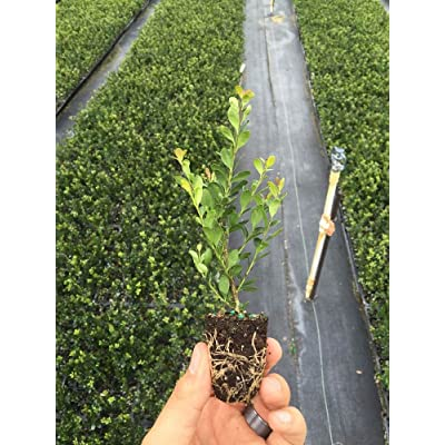 Japanese Holly Ilex Compacta Crenata Qty 60 Live Fully Rooted Evergreen Plants : Garden & Outdoor