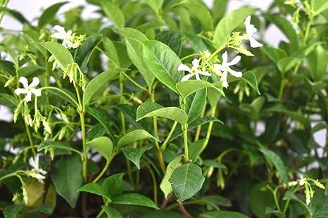 Amazon 1 plant star jasmine live plant potted white flower 6 1 plant star jasmine live plant potted white flower 6 10 inch tall climbing bush mightylinksfo