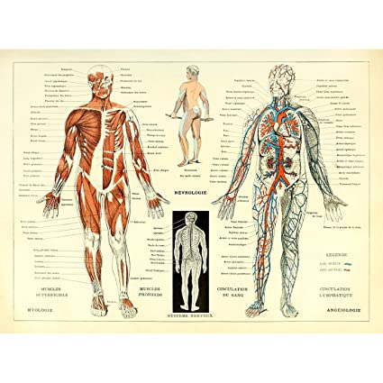 Amazon meishe art vintage poster print human anatomy reference meishe art vintage poster print human anatomy reference illustration chart diagram layout blood vascular system ccuart Choice Image