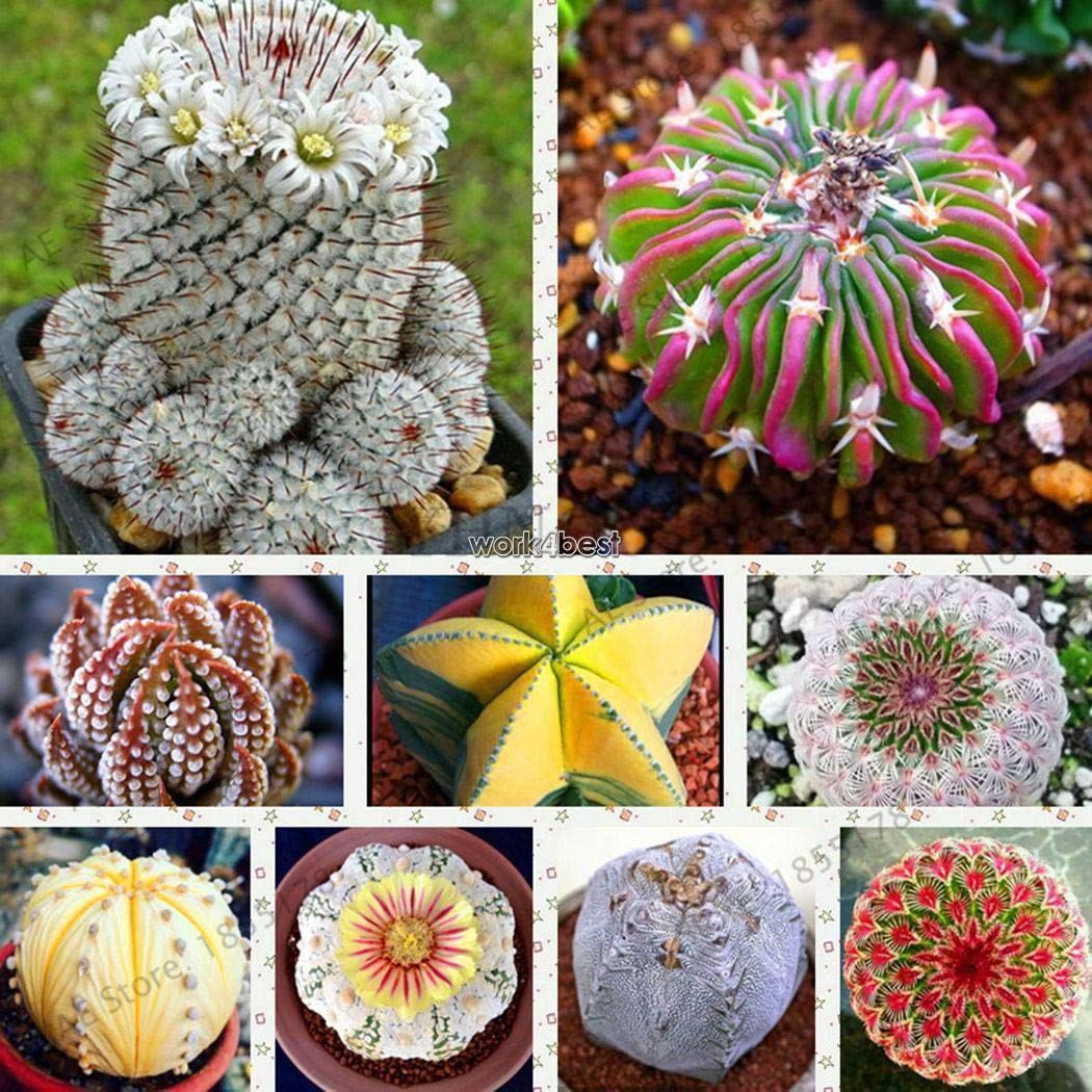Portal Cool Type3: 200Pcs Balcony Garden Decorative Multi-Color Cactus Succulent Seeds WST