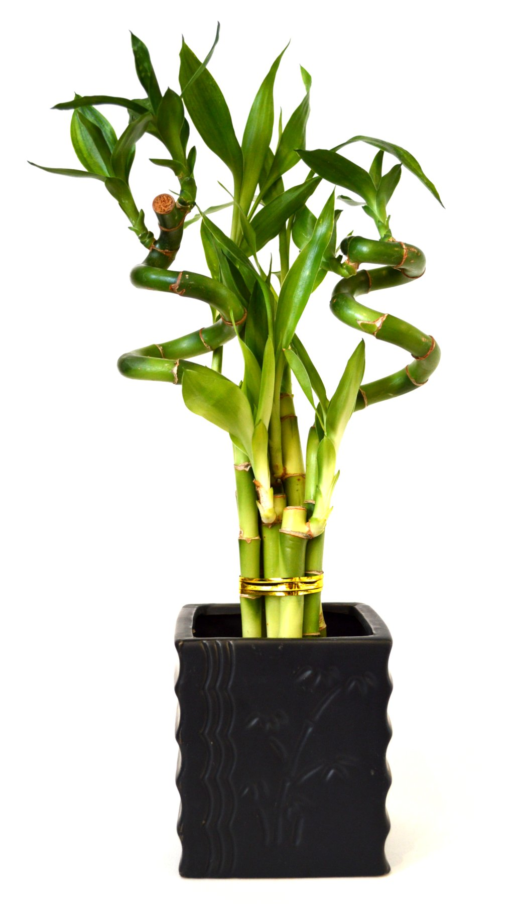 9GreenBox - Lucky Bamboo - Spiral Style with Diamond Ceramic Vase