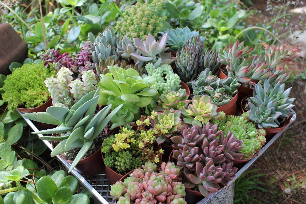 Jiimz 20 Beautiful 4'' inch Succulents in Their Plastic containers