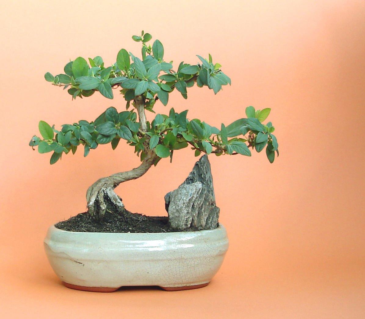 Japanese Honeysuckle Vine, Lonicera Japonica, 50 Seeds (Fast, Fragrant)