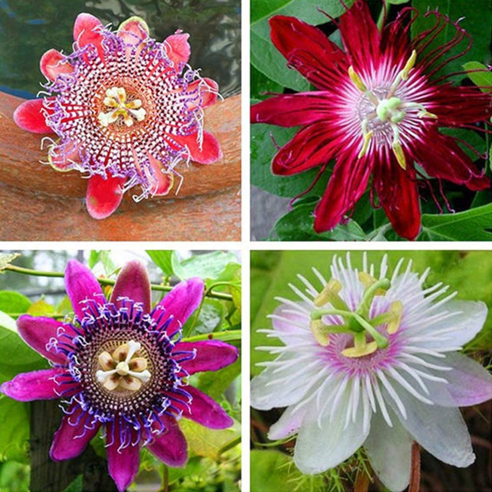 lamta1k 100 Unids Semillas de Flor de Pasión Alta tasa de Supervivencia Hogar Jardín Oficina Patio Bonsai Decoración - Semillas de Flor de Pasión