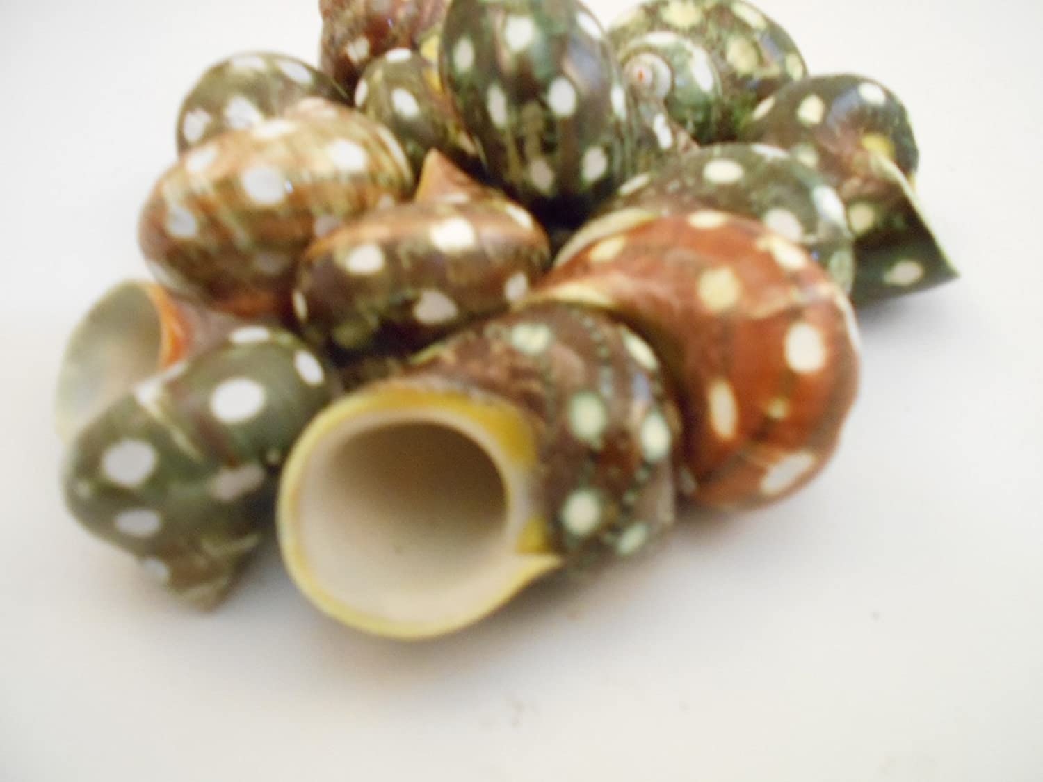 Set of 12 Spotted Turbo Shells Seashell 1-2 size (3/4-1 opening) Hermit Crab Florida Shells and Gifts