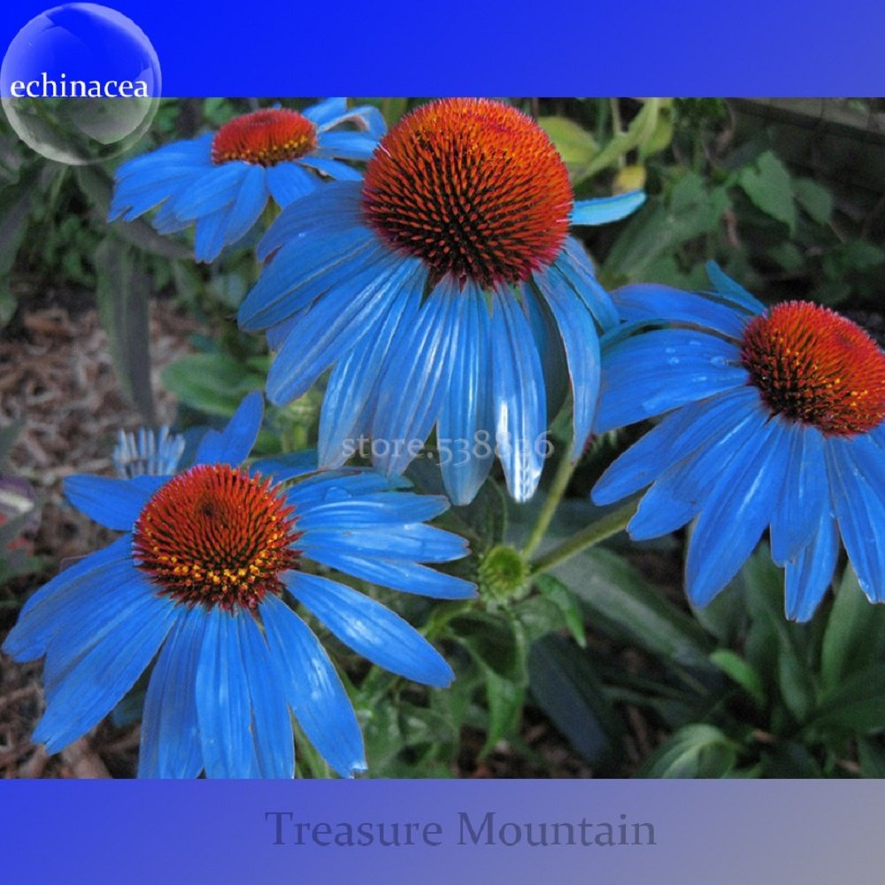 Rare 'Yangko' Light Blue Echinacea Purpurea, Big Blooms Blue Petals with Orange Heart Hybrid Flowers