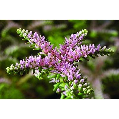 100+ Seeds | 'Sea Star' Sedum pulchellum | Stonecrop | Perennial Hardy to Zone 5 : Garden & Outdoor