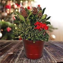 Helleborus Hardy Shrub Garden Plant Silver Star Hellebore 1x 14cm Pot by Thompson and Morgan 1