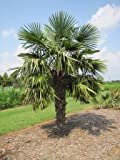 Trachycarpus fortunei - Chusan Palm, Chinese Windmill Palm