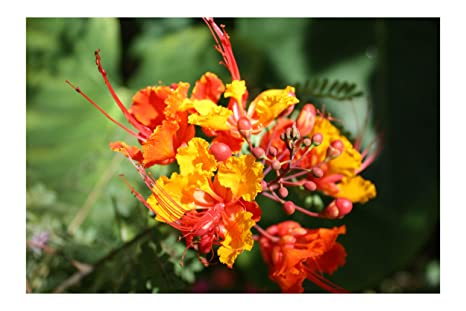 Amazoncom Pride Of Barbados 10 Tropical Seeds Red Peacock Flower