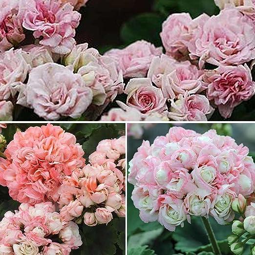 Ncient 10 Semillas de Geranio Geranium Semillas Flores Raras Plantas Bonsai Semillas para Jardín Balcon Interior y Exteriores: Amazon.es: Jardín