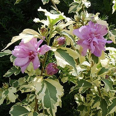 "Sugar Tip  Gold Rose of Sharon - 4"" Pot - Hibiscus - Proven Winners : Garden & Outdoor"