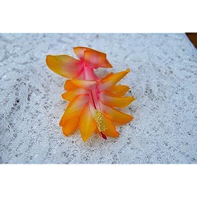 AchmadAnam Cactus Starter Plant ~Gold Fever~ Schlumbergera : Garden & Outdoor