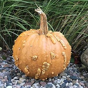 David's Garden Seeds Pumpkin Frankenstein Grizzly Bear 4727 (Brown) 25 Non-GMO, Hybrid Seeds