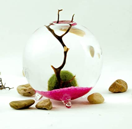 Marimo Moss Ball Aqua Terrarium On Pink Bed Amazon Co Uk Kitchen