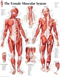 (22x28) Muscular System Female Educational Chart Poster