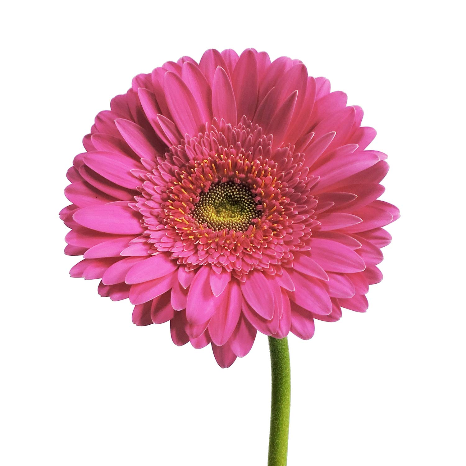 Hot Pink Gerberas - 100 Stems by Bloomingmore