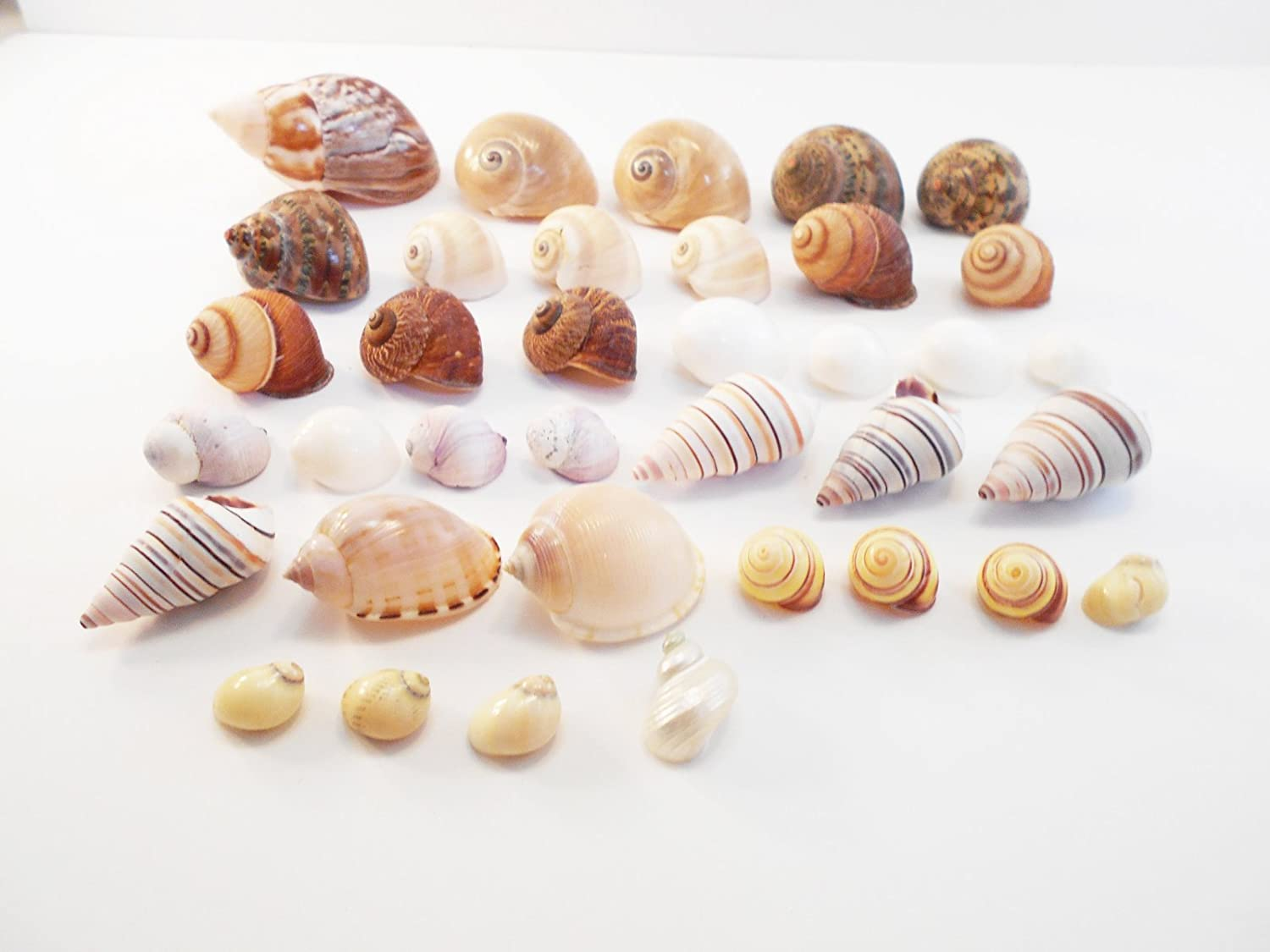 FSG - Select 35 Hermit Crab Shells Assorted Changing Seashells SMALL 1/2-2 Size (opening size 1/4 - 1) Beautiful Florida Shells and Gifts
