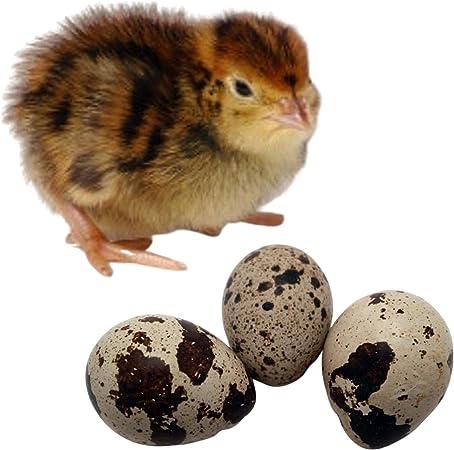 12 Coturnix Quail Hatching Eggs
