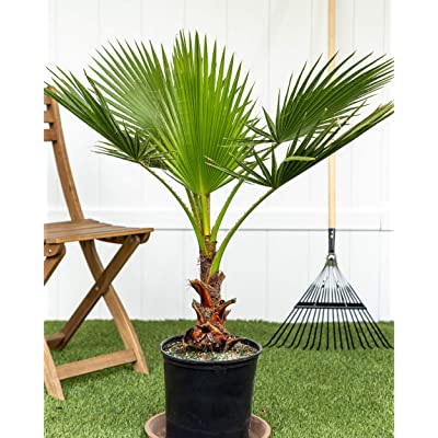 PlantVine Washingtonia robusta, Washington Palm, Mexican Fan Palm - Large - 8-10 Inch Pot (3 Gallon), Live Plant : Garden & Outdoor